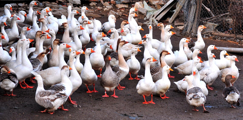 Goose on farm stock image