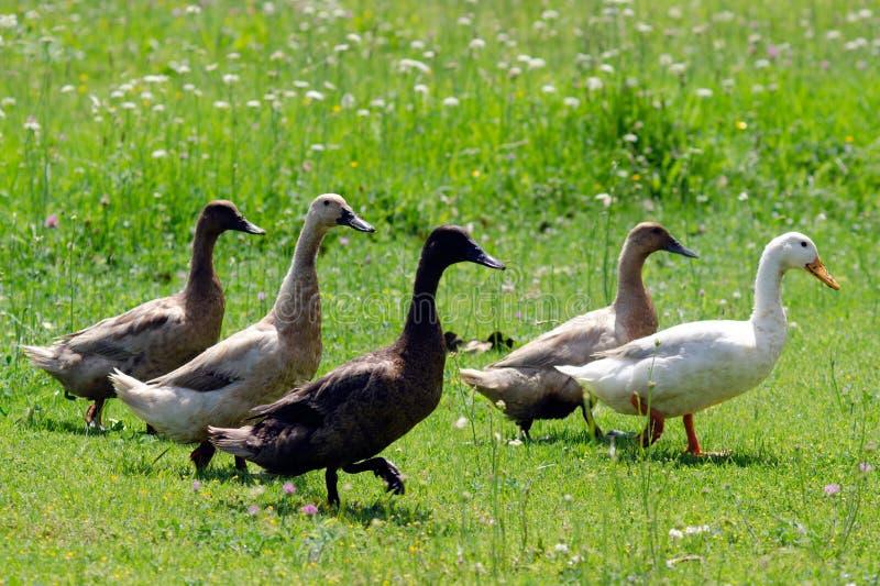 Goose Farm stock photo