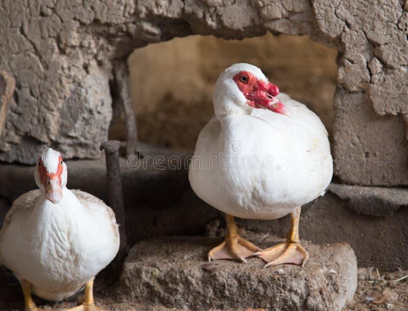 Goose on the farm royalty free stock photos