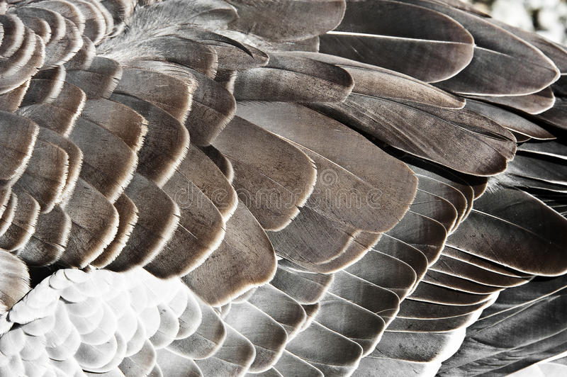 Download Goose feather stock photo. Image of fowl, background - 26213578