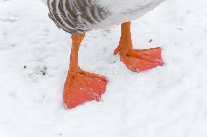 Download Goose feet stock image. Image of white, orange, life - 30510587