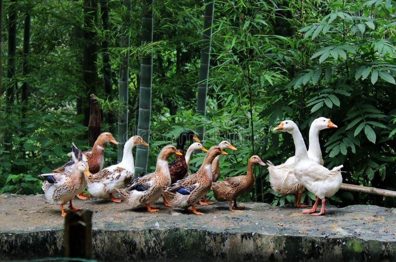 Goose; goosey; goosie royalty free stock photos