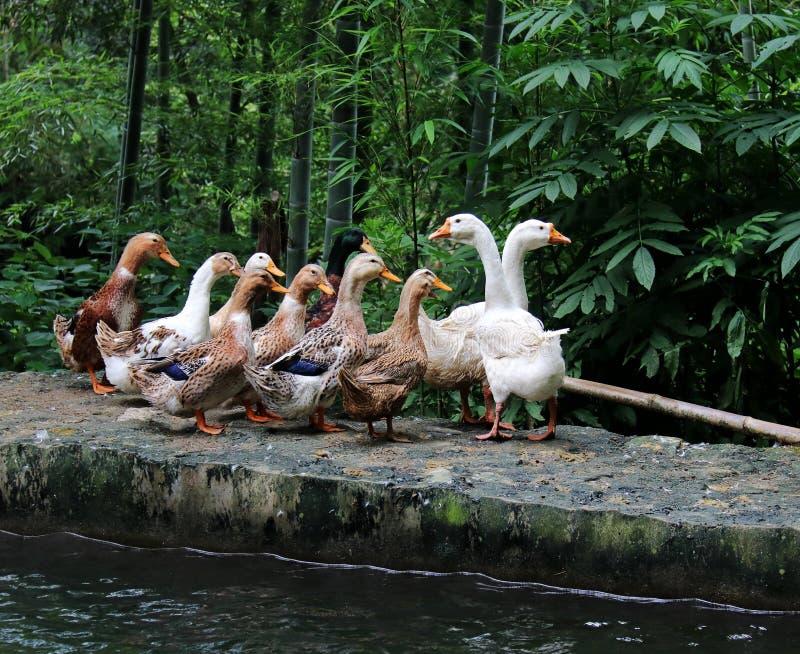 Goose; goosey; goosie stock photo