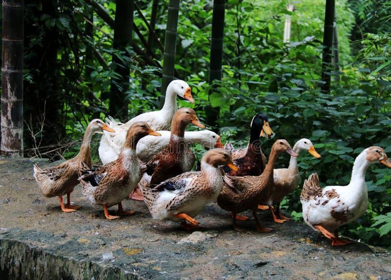 Goose; goosey; goosie royalty free stock image