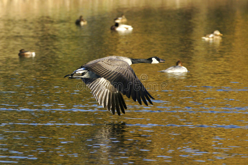 Download Goose In Flight stock image. Image of color, water, evening - 12599407