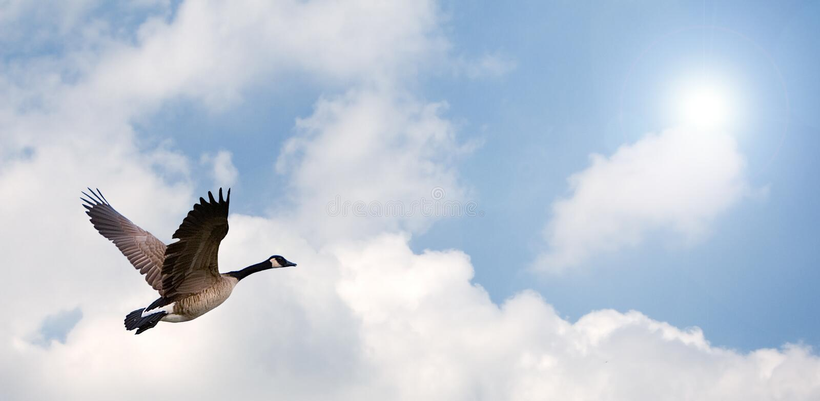 Goose Flying royalty free stock photo