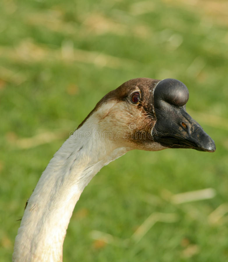 Goose with Funny Beak. Funny goose with ball on its beak royalty free stock photos