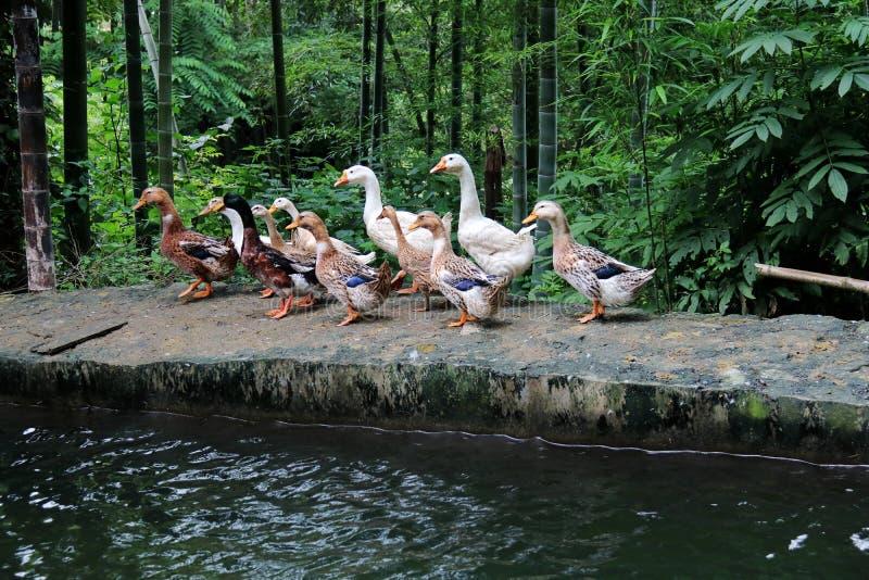 Goose; goosey; goosie stock images