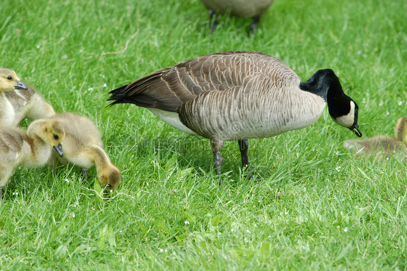 Goose with goslings stock image