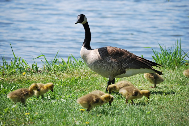 Goose and goslings stock images
