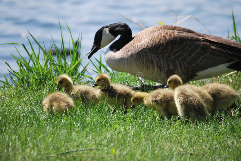 Goose And Goslings stock photos