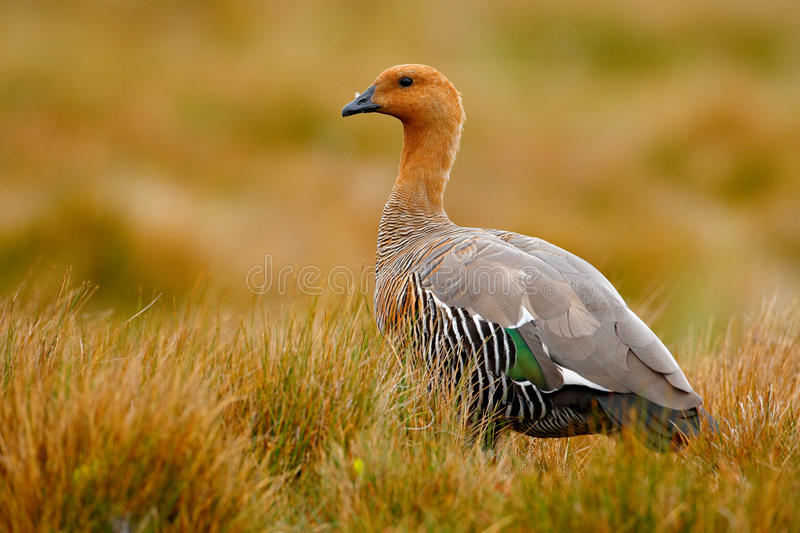 Goose in the grass, Chloephaga hybrida, Kelp goose, is a member of the duck, goose. It can be found in the Southern part of South. America royalty free stock image