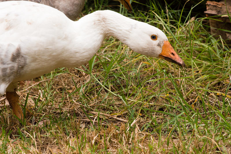 Goose in grass royalty free stock photos