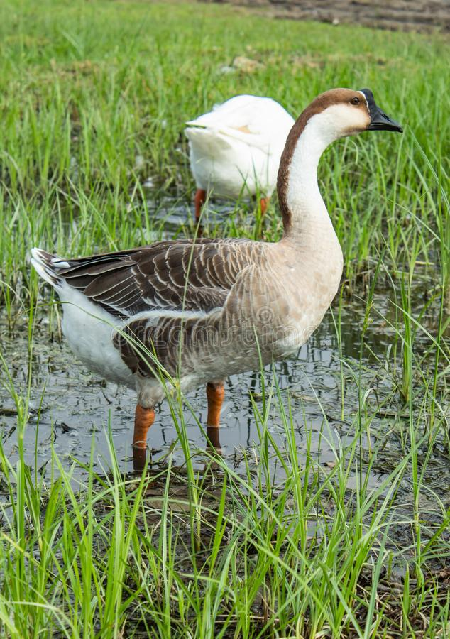 Goose on the grass in the water. royalty free stock photo