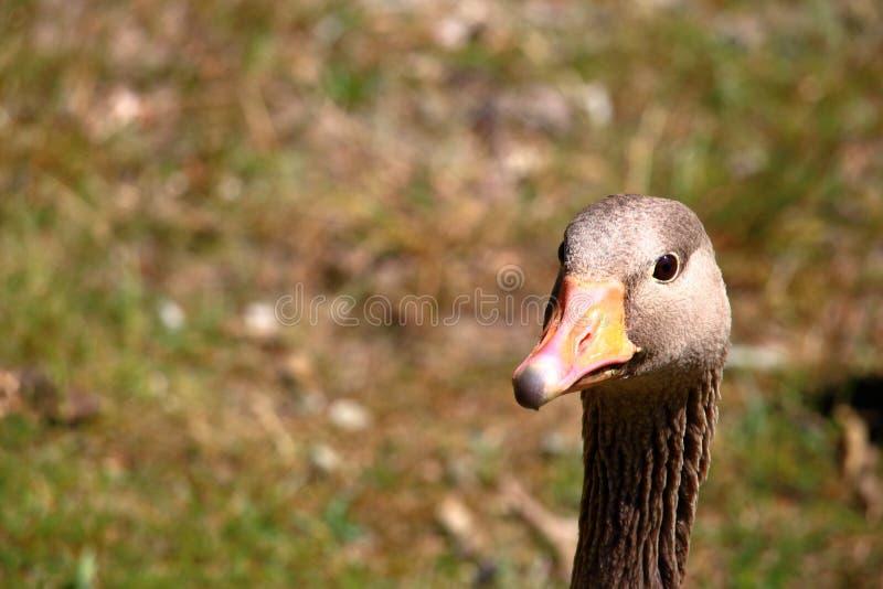 Goose head portrait royalty free stock image