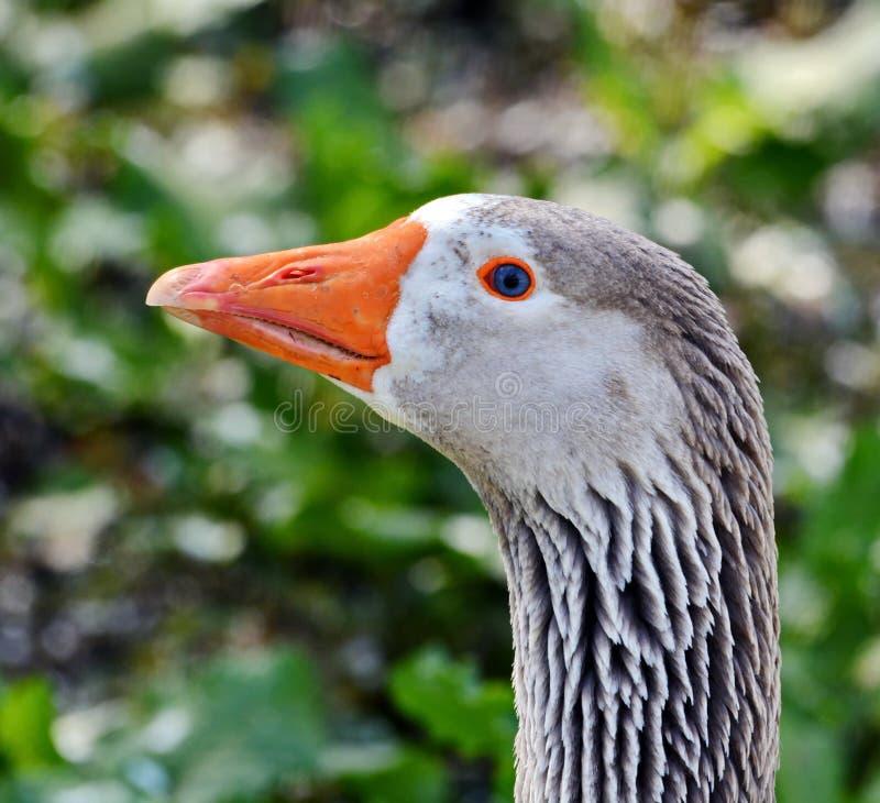 Goose head stock image