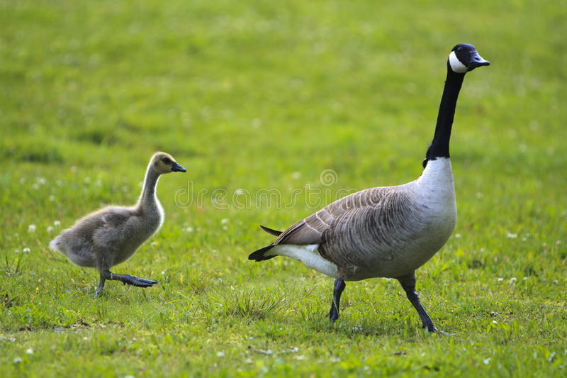 A goose and her baby royalty free stock images