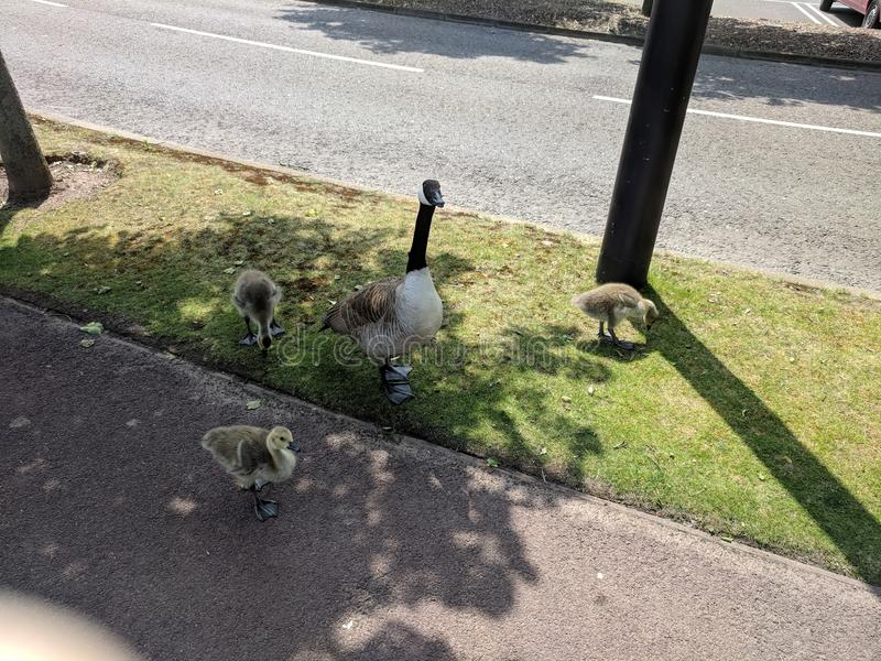 The goose and her chicks. Shopping at Bluewater Kent United Kingdom. Midday royalty free stock photography