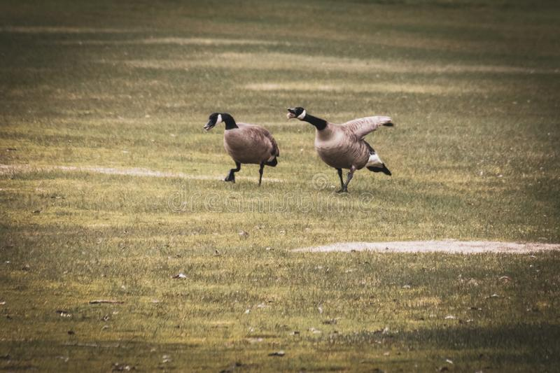 Goose Honking at it`s Mate. A goose is honking as he walks with his mate in the grass. It`s a funny display, because he looks as if he is gagging with his tongue stock photo