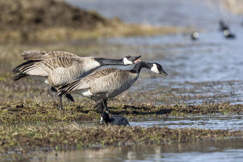 Goose honks next to another. One Canadian goose is honking next to another goose at Hauser Lake, Idaho stock photography