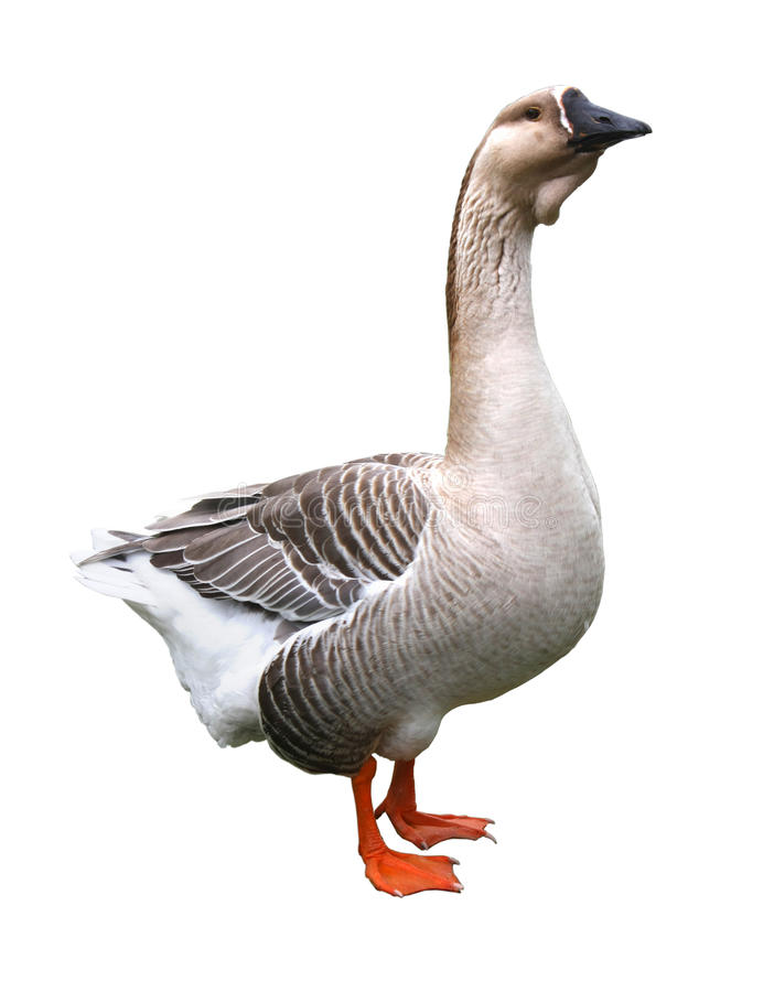 Goose (isolated) Royalty Free Stock Photography