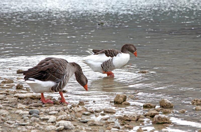 Download Goose At Lake Kournas At Island Crete Stock Photo - Image: 33691662