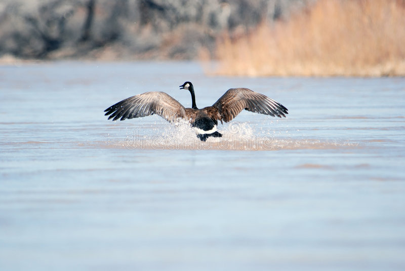 Goose landing. This is a grater canadian goose landing on the Rio grande river in new Mexico royalty free stock image