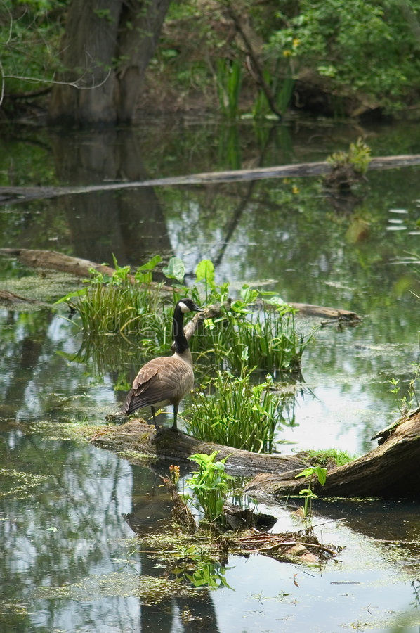 Download Goose on a log stock image. Image of water, fowl, shore, goose - 3515