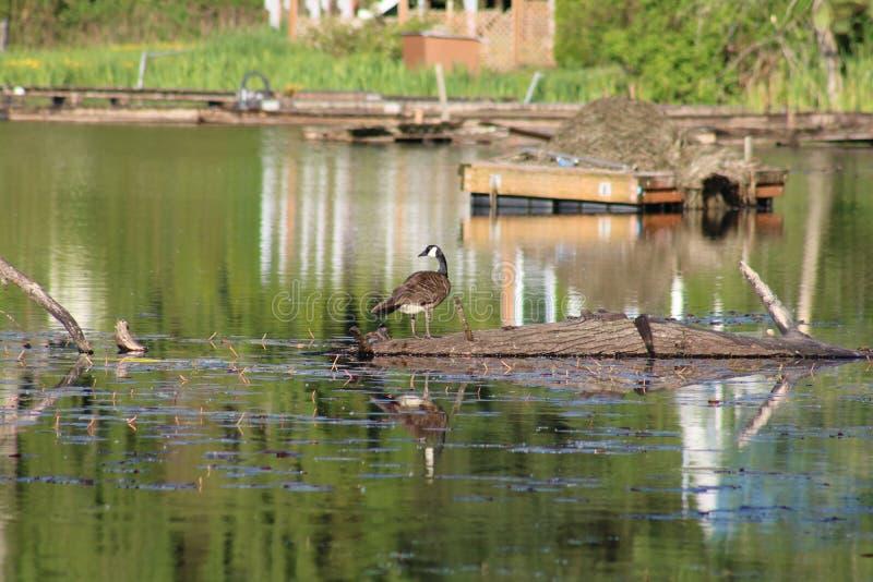 Goose on a log stock photos