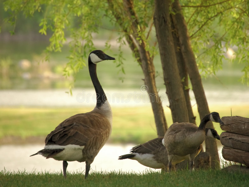 Goose on the Lookout. Canadian Goose and young with water in background royalty free stock photos