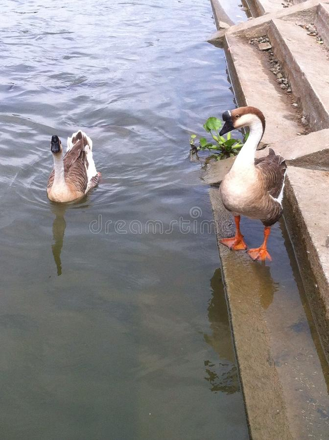 Goose love royalty free stock photography