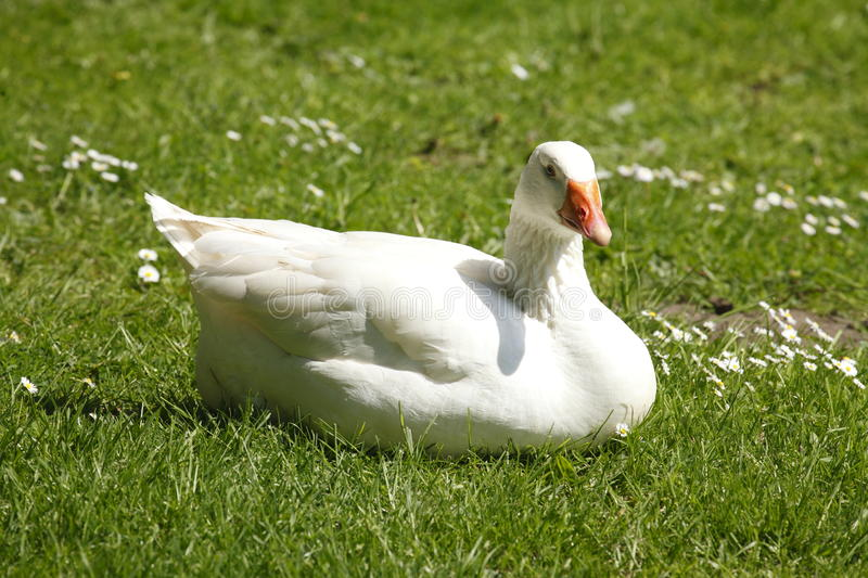 Goose on a meadow recumbent. Anser forma domestica royalty free stock images