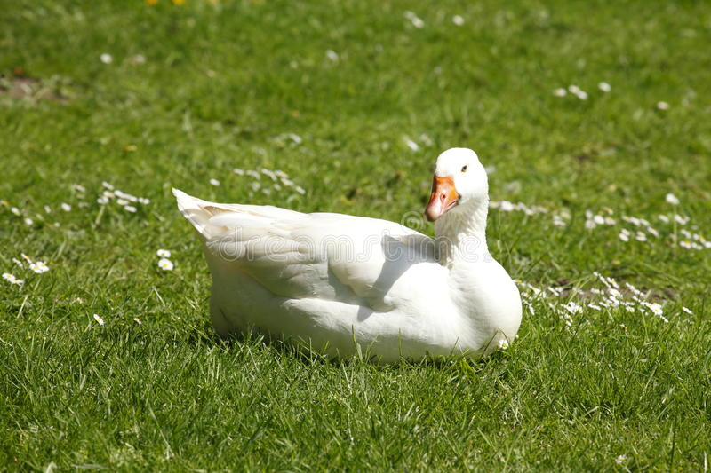 Goose on a meadow recumbent. Anser forma domestica royalty free stock photography