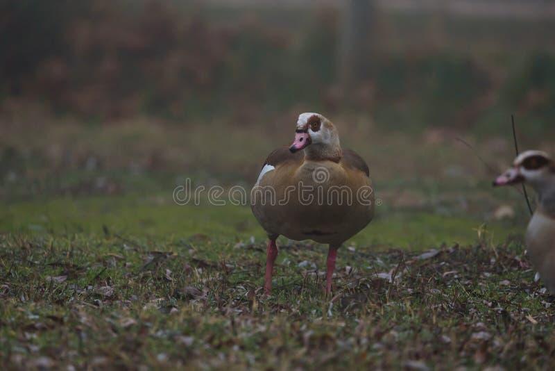 The Goose stock photo