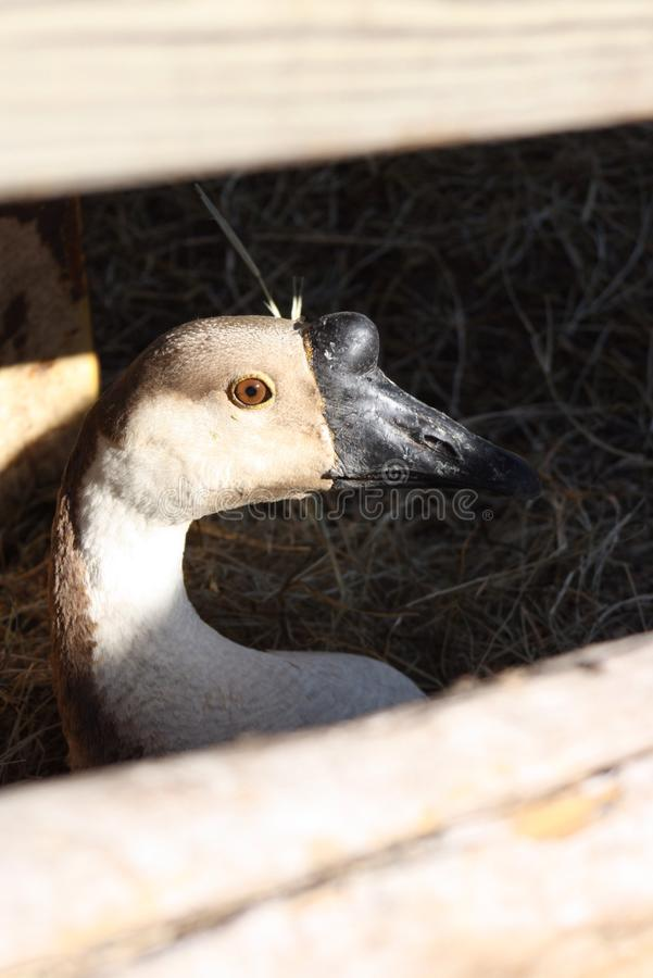 Goose Neating royalty free stock photography
