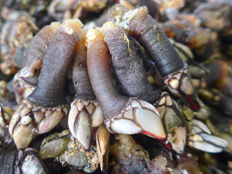 Goose neck barnacles, crustaceans, delicacy, seafood. Percebes Pedunculata Pollicipes pollicipes. Barnacles are known in Spain and Portugal as Percebes and are stock photo