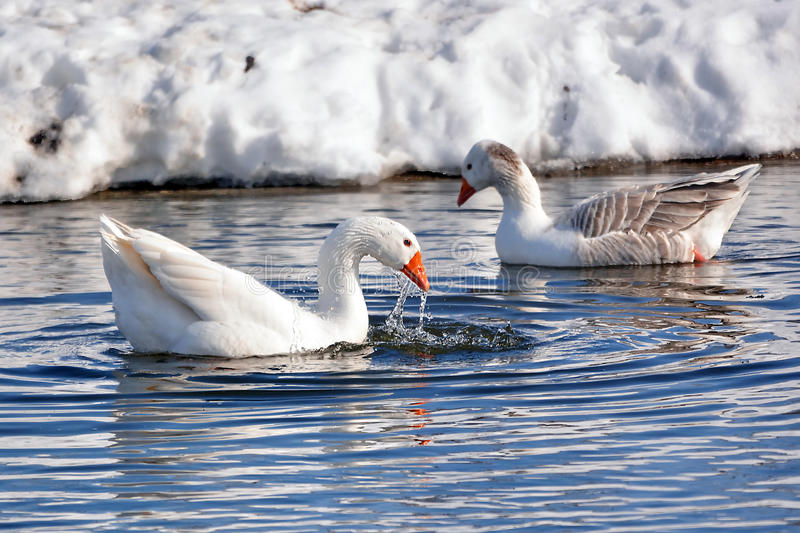 Goose royalty free stock photography