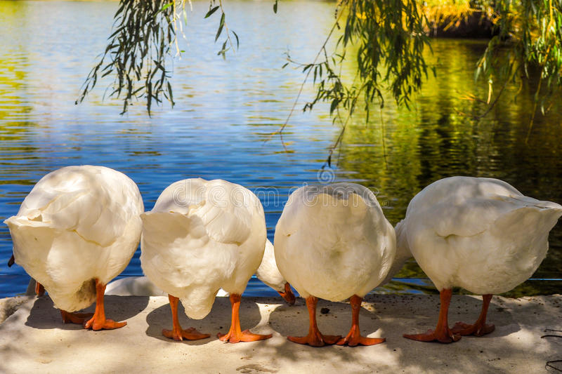 Goose pads. The geese pecking grains on the bank of a pond stock photos