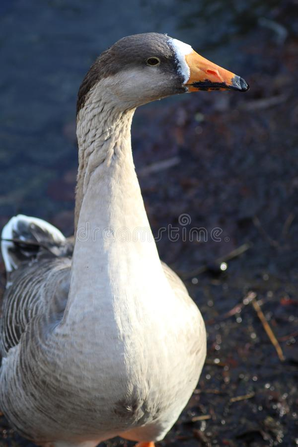 The goose in the park in the Netherlands. This photo was taken one morning in the Wilhelminapark in Utrecht in the Netherlands. It was cold but the sun had come royalty free stock image
