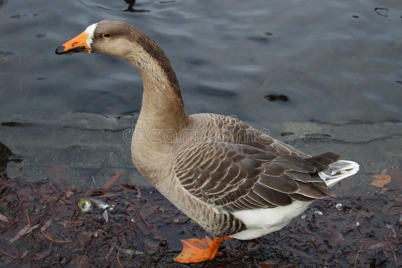 The goose in the park in the Netherlands.. stock photo