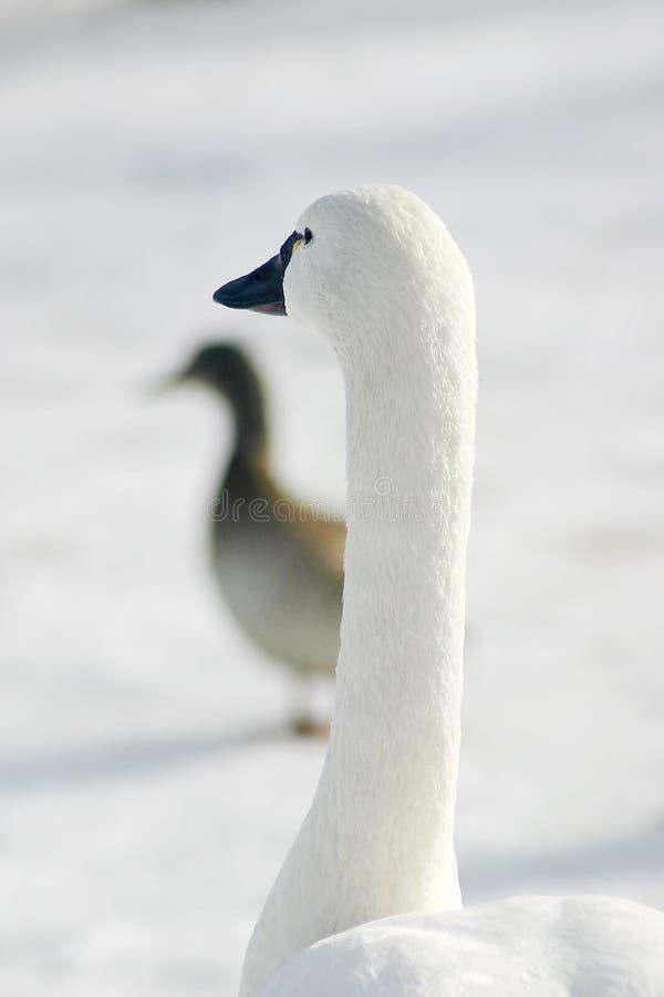 Download Goose park white obraz stock. Obraz złożonej z czerń, lód - 142263