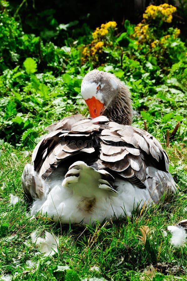 Download Goose plucking feathers stock photo. Image of vegetation - 14859176