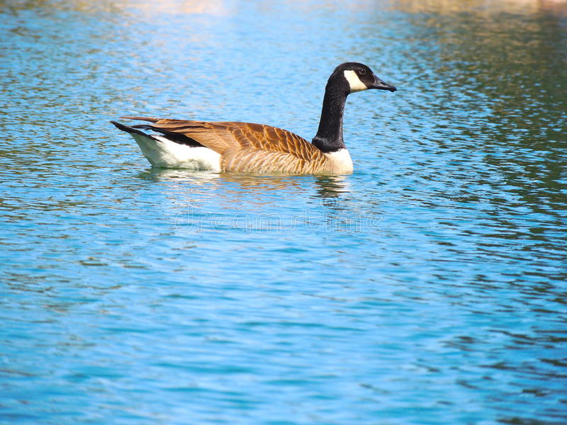 Goose on Pond stock photography
