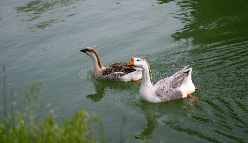 Goose on pond in nature royalty free stock images