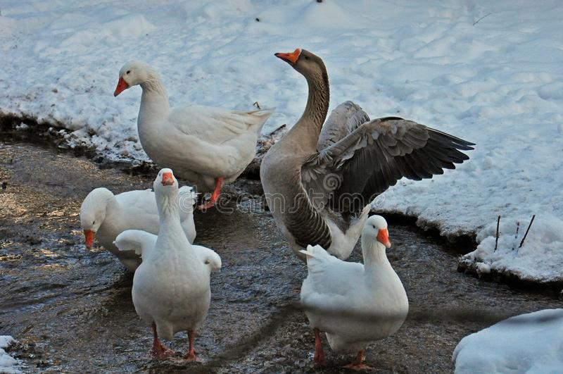 Goose in a pond in winter royalty free stock photography