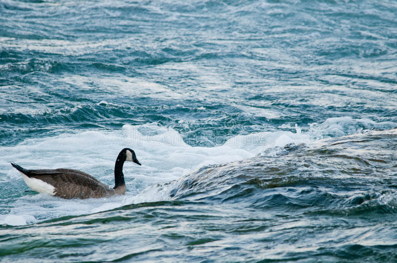 Goose In Rapids Royalty Free Stock Photo