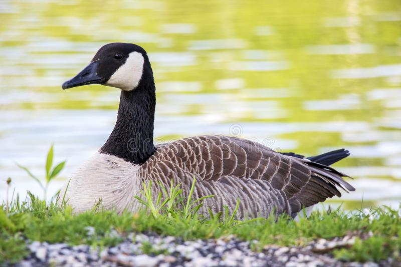 Goose resting in the park. This is a stoic goose resting near a pond in the city park royalty free stock images