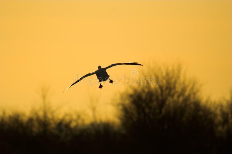 Goose silhouette stock photos