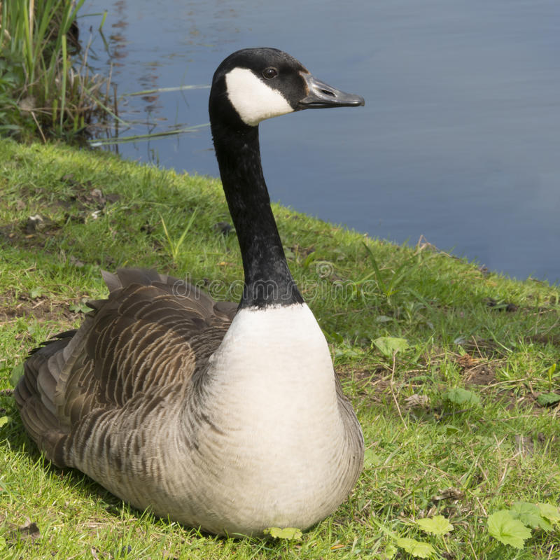 Goose sitting in grass stock image