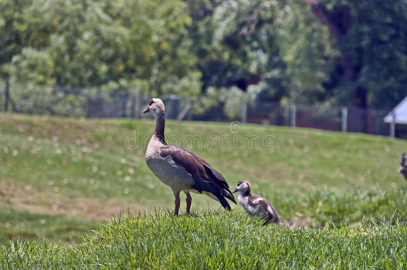 Goose with small gosling at grass